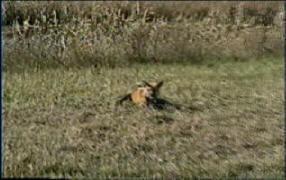 Buckshot's Beginning Trapping DVD