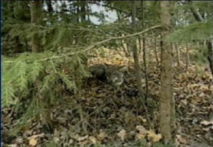 Buckshot's Advanced Predator Trapping DVD
