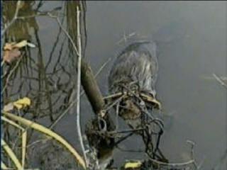 Buckshot's Water Trapping DVD