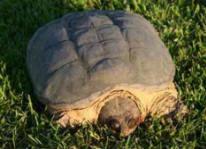Buckshot's Snapping Turtles DVD